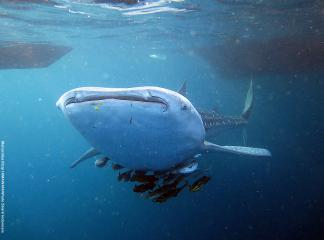 Researcher of IPB Supported the Conservation of Whale Shark in Gorontalo